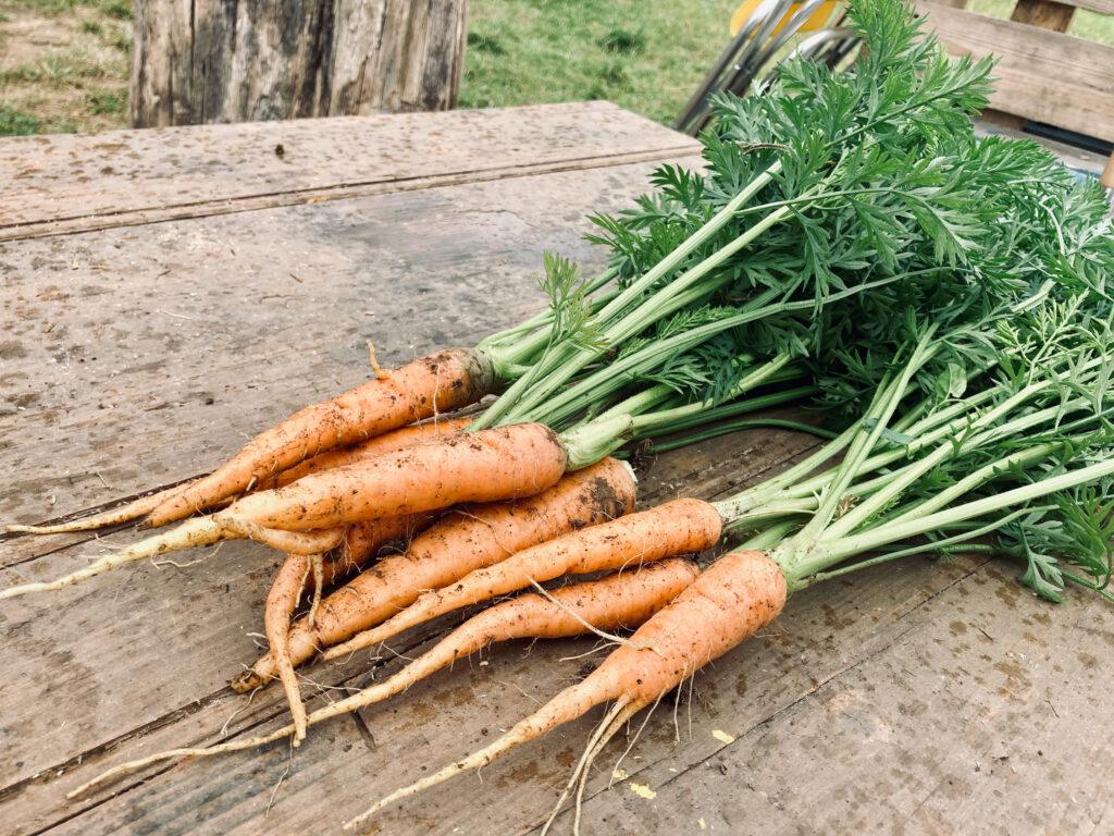 Les carottes primeurs