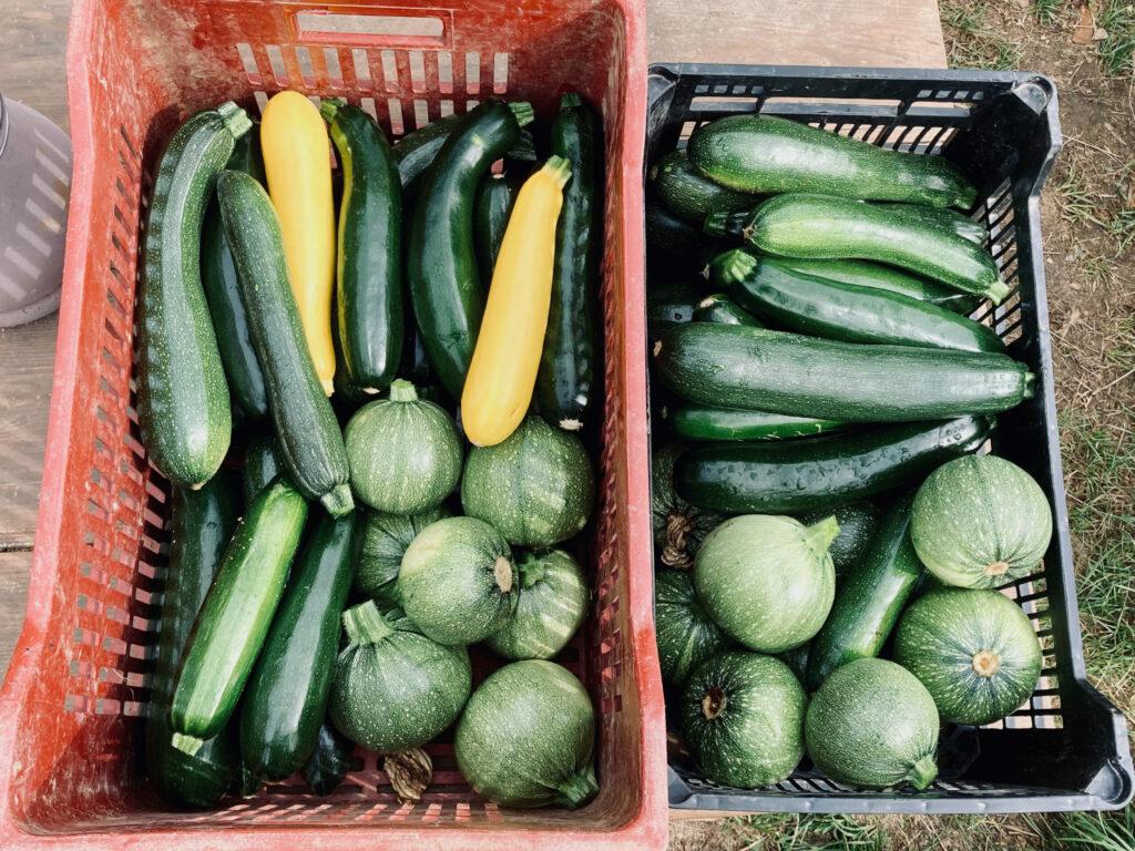 5kg de récolte quotidienne de courgettes en pleine saison !